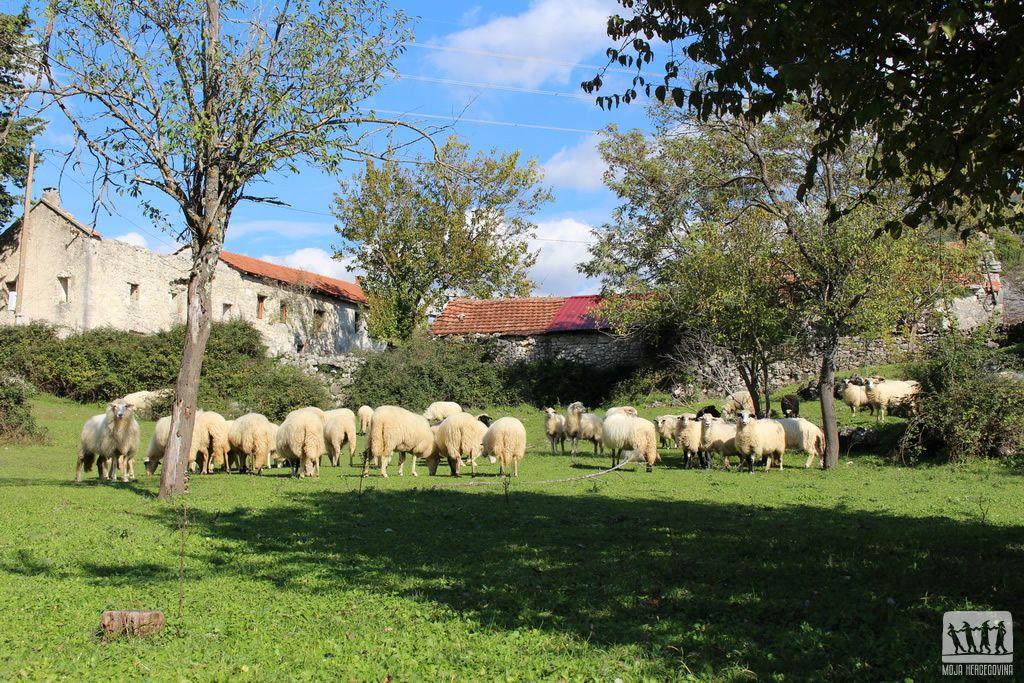 Izetove ovce na ispaši (Foto: Moja Hercegovina)
