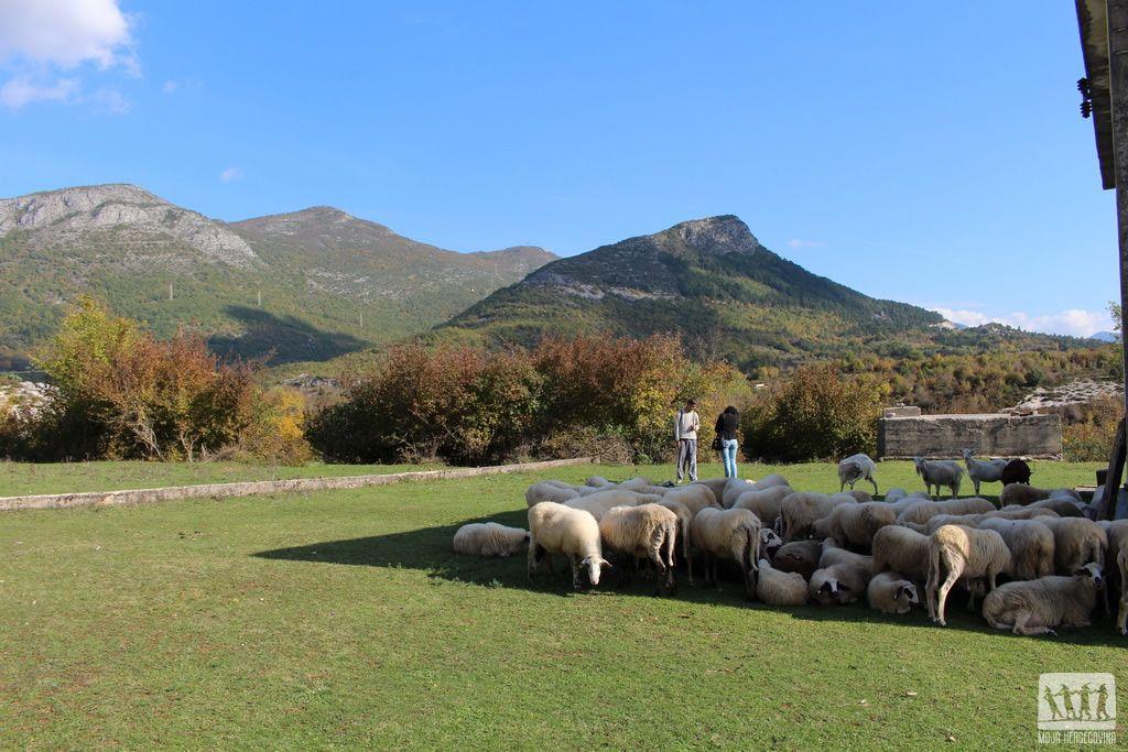 Markove ovce na livadi (Foto: Moja Hercegovina)